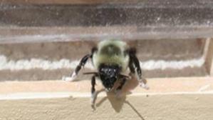 bumblebee-pesticides